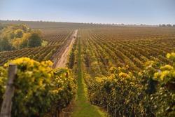 Autumn vineyards at sunrise