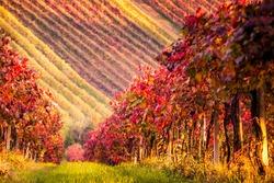 Autumn vineyards in Modena, Italy