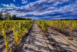 Autumn vineyards in the Languedoc region of the south of France