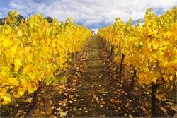 Autumn vinyard in Adelaide Hills, South Australia