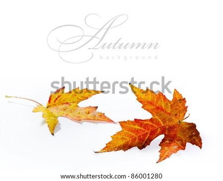 autumn wet maple leaf isolated on white background