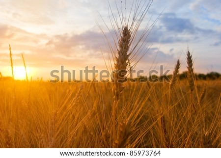 autumn wheat field at the evening