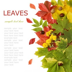 Autumn wild grapes and maple leaves background with autumn flower, nuts and chestnut (with sample text)