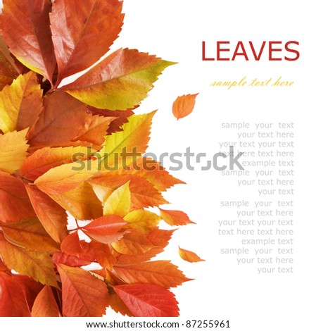 Autumn wild grapes leaves background isolated on white with sample text