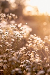 Autumn wild grass and white daisy flowers on a meadow in the rays of the golden hour sun. Seasonal romantic artistic vintage autumn field landscape wildlife background