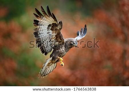 Autumn wildlife, bird of prey Common Buzzard, Buteo buteo, flight on coniferous spruce tree branch. Wildlife scene from the nature. Landing on spruce tree. Buzzard fly in the forest. Сток-фото ©