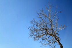 autumn winter dried tree branches  in blue sky day