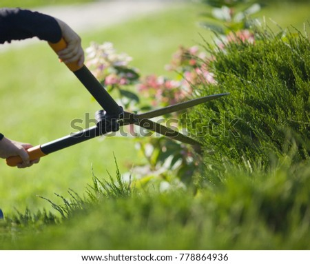 Autumn work in the garden. Shearing of the juniper with shears. Soft focus. #778864936