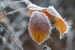 Autumn yellow leaf on a branch in frost needles. Morning frost. Rime. Late fall.