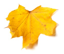 Autumn yellow maple leaf isolated on white background. Selective focus