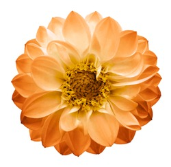 Autumn yellow-orange   flower dahlia on a white isolated background with clipping path. Closeup. Nature.