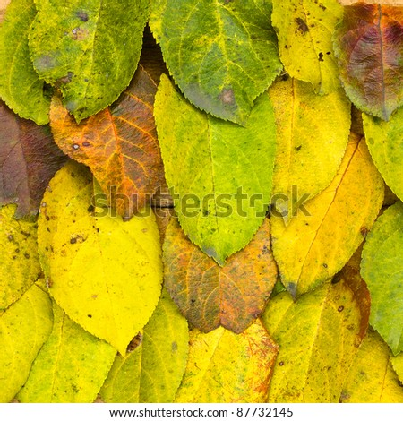 Autumn yellow texture of leaves of apple
