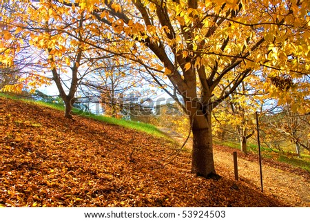 Autumn Yellow Tree and the ground fully covered with dried leaves