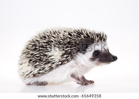 Autumnal animal, Hedgehog