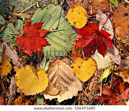Autumnal colored leaves, maple leaf litter