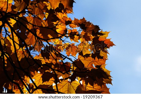 Autumnal Colors as shown in Maple leaves against the sky