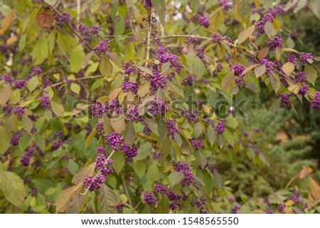Autumnal Colours and the Bright Purple Berries of a Beautyberry Shrub (Callicarpa bodinieri var. giraldii 'Profusion') in a Country Cottage Garden Сток-фото ©