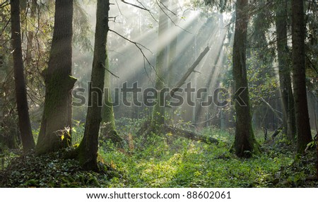 Autumnal deciduous stand with mist and sunbeam among alder trees - stock photo