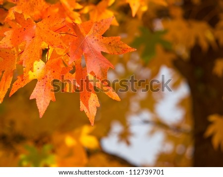 Autumnal foliage on an acorn tree