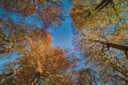 Autumnal foliage with trees covered by yellow leaves that reach out for a blue sky. Environmental illustration with autumn leaf fall and lush and colorful foliage in Jaegersborg - Copenhagen, Denmark