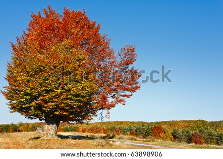 Autumnal landscape with a big beech tree in a sunny day