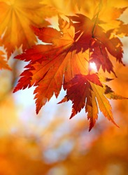 Autumnal maple leaves in blurred background, red foliage, sunlight