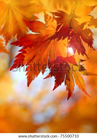 Autumnal maple leaves in blurred background, red foliage, sunlight #75500710