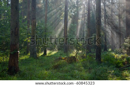 Autumnal morning with sunbeams entering forest among dead spruce trees still standing and grassy bottom