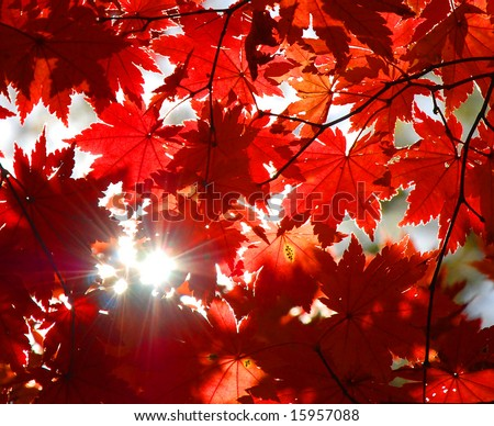 Autumnal ornament, red leaves of maple - stock photo