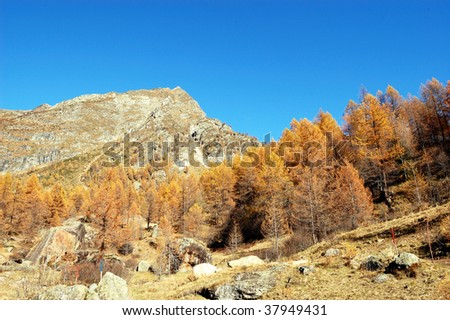 autumnal panoramic view of larches on mountain.