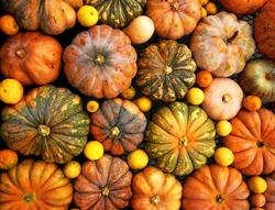Autumnal pumpkins, harvest