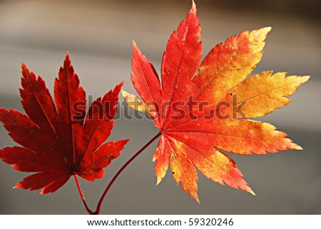 Autumnal red and yellow maple leaves