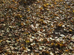 Autumnal texture - fallen leaves Sunny day