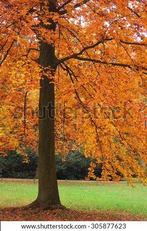 Autumnal tree - Shutterstock ID 305877623