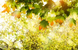 Autumnal with Maples leaves with morning light shining through,Soft focus branches maple tree with orange leaves against blurry natural background,Bright leaves in fall season with blurry light bokeh