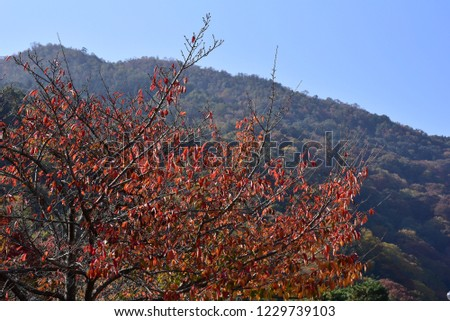 autumnleaves at arasiyama