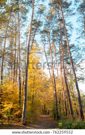 autumt yellow trees in forest #762259552