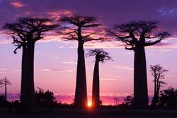 Avenue of baobabs,  magenta and purple  sunset , Madagascar