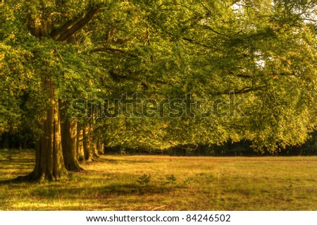 Avenue of oak trees bathed in last of Summer evening golden sun