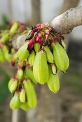 Averrhoa bilimbi a.k.a. Kamias/Cucumber tree/Bilimbi; edible and medicinal frui