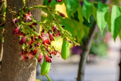 Averrhoa bilimbi (Bilimbi, tree sorrel, Cucumber Tree) ;  Fresh fruits, juicy, green & sour. hanging on tree, together with bunch of red flowers. Medicinal properties. close up, natural sunlight.