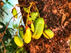 Averrhoa bilimbi is a fruit-bearing tree of the genus Averrhoa, family Oxalidaceae. It is a close relative of the carambola tree.