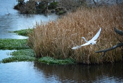 Aviary Fowl and Swamp Landscape, Crane from alternate angles, Flying and Resting Birds, Wetlands.