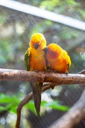 aviculture. two of pretty Sun Conure parrots or Sun Parakeets perching on a branch in bird aviary at the zoo.
