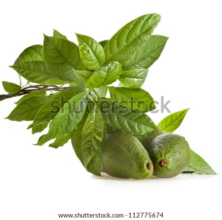 Avocado fruits with leaves from Avocado tree, isolated on white