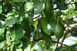 Avocado or Palta, Persea americana
