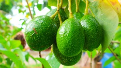 Avocado Strains Booth 8 in avocado breeding park, Tak province, Thailand