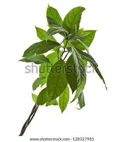 avocado tree isolated on white background