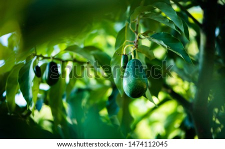 avocados growing on tree in orchard, mexicola avocado on tree, smooth avocado, green fruit, green leaves, young tree bearing fruit, avocado on tree