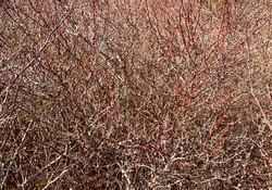 Awesome background of bushes with dry and leafless branches, the mixed colors of brown and red branches are amazing.